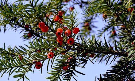Gartengestaltung mit Taxus Baccata – Ist die Eibe eine Alternative zum Buchsbaum?