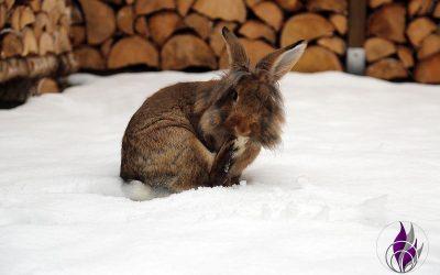 Kaninchen im Schnee – Was ist zu beachten?