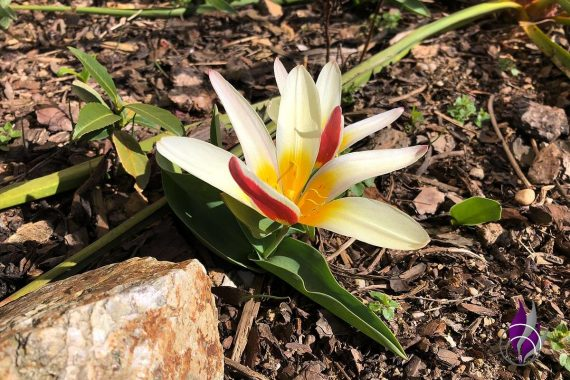 Tulpe Kaufmanniana Garten