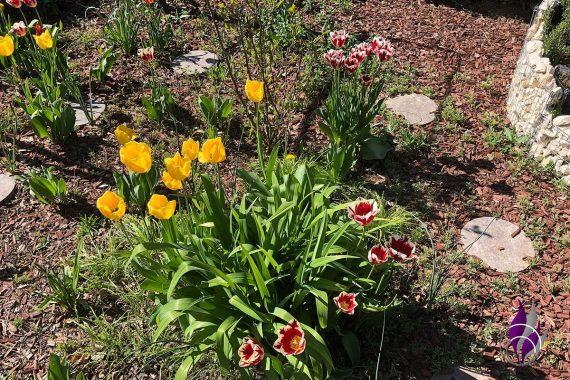 Tulpen Tulpe Tulpenbeet Garten